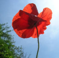 poppy oil antiage